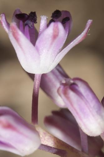 Scilla obtusifolia Poir.