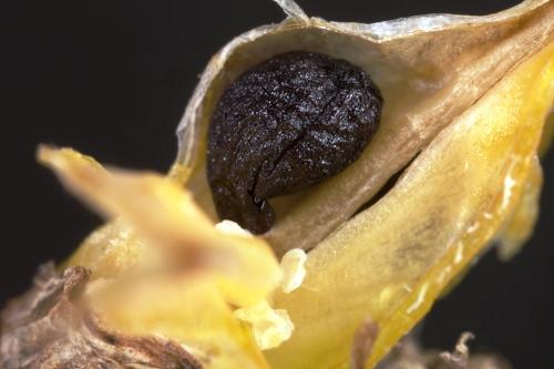 Scilla peruviana L.