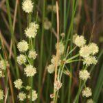 Scirpoides holoschoenus (L.) Sojak