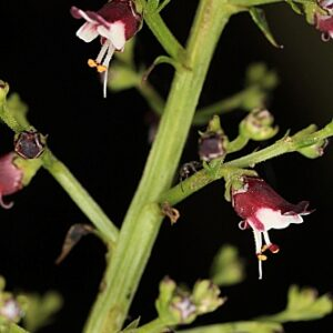 Scrophularia canina L.