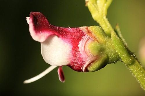 Scrophularia crithmifolia Boiss.