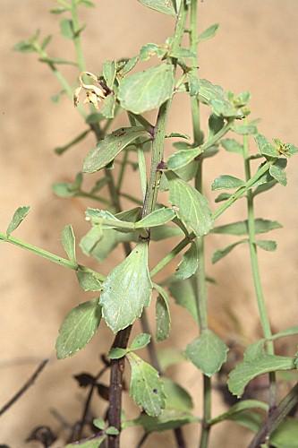 Scrophularia frutescens L.