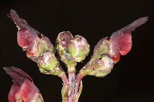 Scrophularia lyrata Willd.