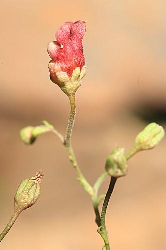 Scrophularia oxyrhyncha Coincy