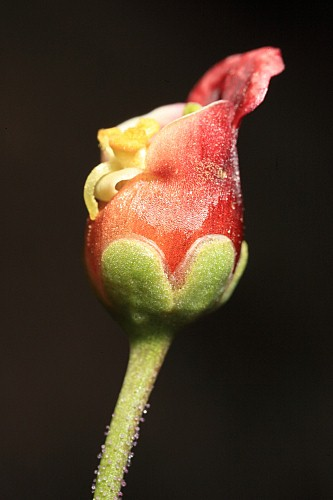 Scrophularia tanacetifolia Willd.