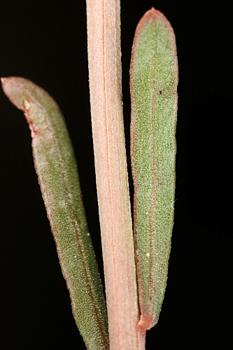 Sesamoides purpurascens (L.) G. López
