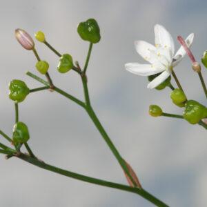 Simethis mattiazzii (Vand.) Sacc.