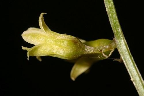 Smilax aspera L.