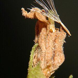 Solanum bonariense L.