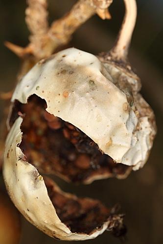 Solanum linnaeanum Hepper & P.-M.L. Jaeger
