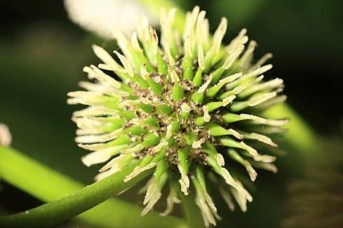Sparganium erectum L.