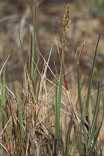 Sporobolus pungens (Schreber) Kunth