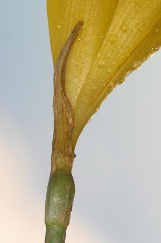 Sternbergia lutea (L.) Ker Gawl. ex Spreng.