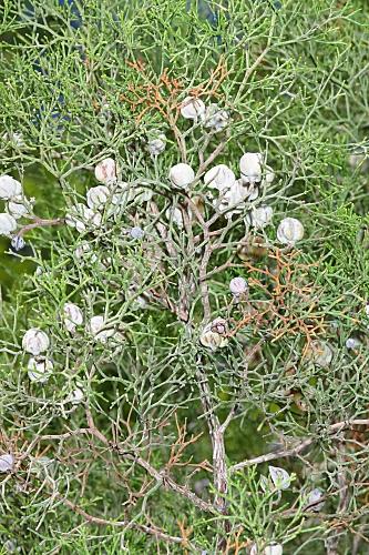 Tetraclinis articulata (Vahl) Mast.