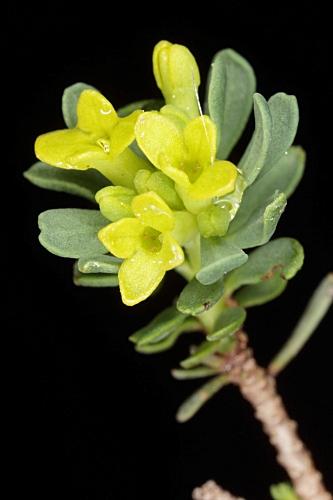 Thymelaea granatensis (Pau) Lacaita