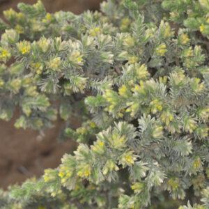 Thymelaea lanuginosa (Lam.) Ceballos & C. Vicioso
