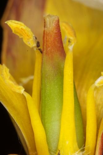 Tulipa sylvestris subsp. australis (Link) Pamp.