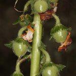 Verbascum erosum Cav.