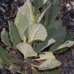 Verbascum giganteum Willk.