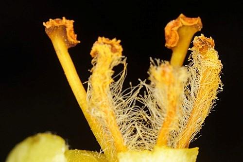 Verbascum giganteum subsp. martinezii Valdés