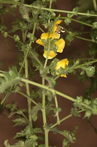 Verbascum masguindalii (Pau) Benedí & J.M. Monts.