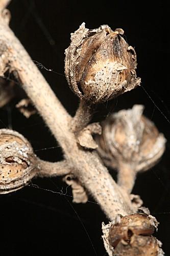 Verbascum pseudocreticum Benedí & J.M. Monts.
