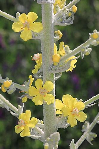 Verbascum pulverulentum Vill.