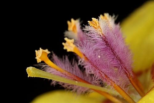 Verbascum sinuatum L.