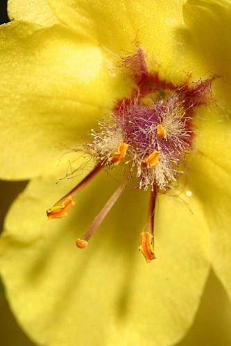 Verbascum virgatum Stokes