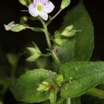 Veronica anagallis-aquatica subsp. anagallis-aquatica L.