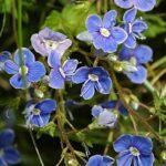 Veronica chamaedrys subsp. chamaedrys L.