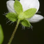 Veronica cymbalaria Bodard