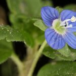 Veronica heredifolia L.