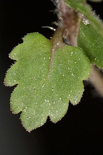 Veronica heredifolia L.