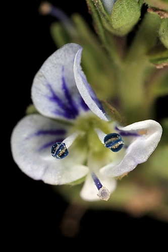 Veronica serpyllifolia L.