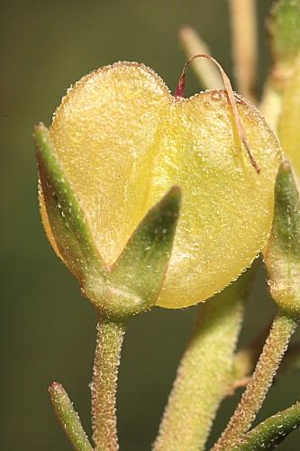Veronica tenuifolia subsp. fontqueri (Pau) M.M. Mart. Ort. & E. Rico