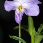 Viola arborescens L.