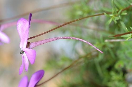 Viola cazorlensis Gand.