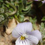 Viola crassiuscula Bory