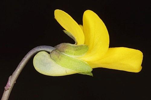 Viola demetria Prolongo ex Boiss.