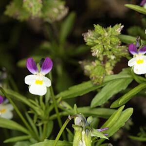 Viola kitaibeliana Schult.