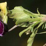 Viola saxatilis F.W. Schmidt