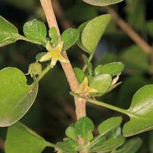 Withania frutescens (L.) Pauquy