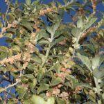 Withania somnifera (L.) Dunal