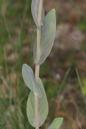 Conringia orientalis (L.) Dumort.