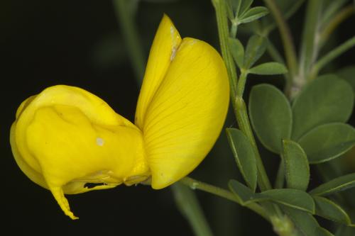 Cytisus arboreus subsp. catalaunicus (Webb) Maire