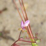 Erodium aethiopicum (Lam.) Brumh. & Thell.