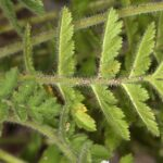 Erodium tordylioides (Desf.) L´Hér
