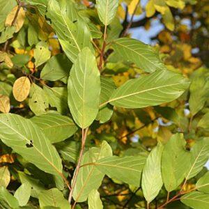 Frangula alnus subsp. baetica (Willk. & É. Rev.) Rivas Goday ex Devesa