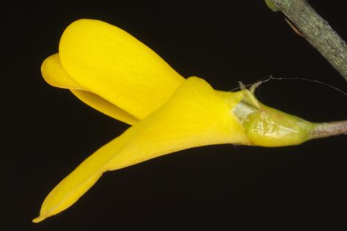 Genista scorpius (L.) DC.
